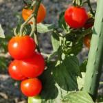 カット野菜は外国産ばかり?カット野菜の産地表示に関する得する話