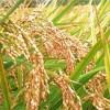 米油は体にいい油?米油の特徴やメリットとは
